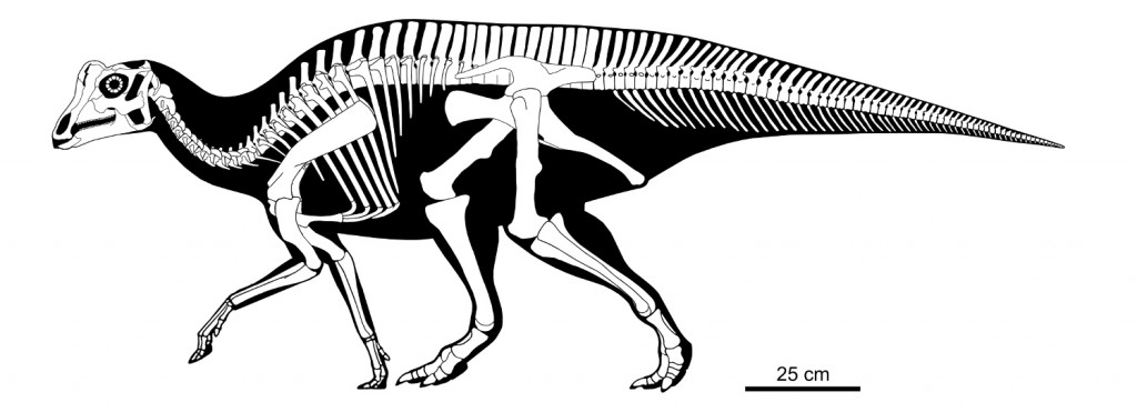 "A reconstruction of the complete skeleton of ""Joe"", with missing parts modeled after related dinosaurs."