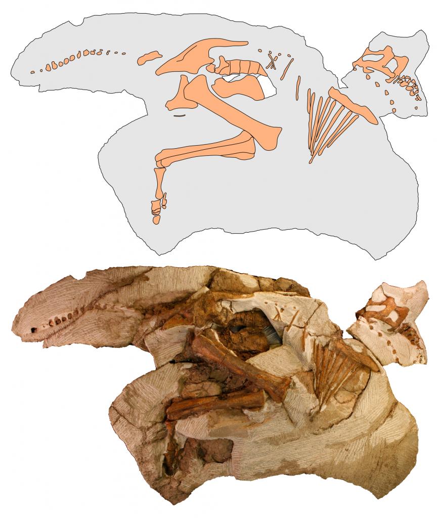 "The skeleton of ""Joe"" in side view from the right, showing the preserved bones. The top image is an interpretive drawing based upon the photograph."