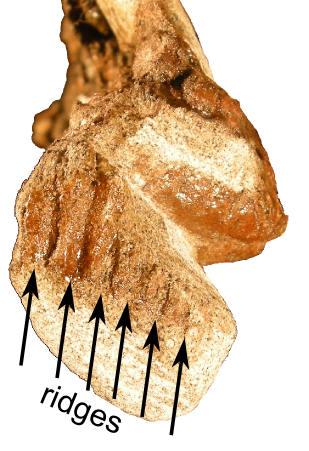 "Close-up of the beak region of the skull of ""Joe"", showing the ridged impressions of the keratinous beak."