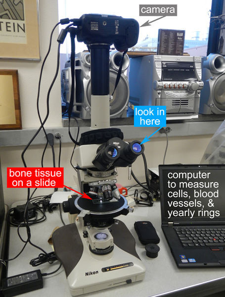 We use a microscope to look at dinosaur bone tissue. Our microscope has a camera to take pictures, and a computer for counting and measuring different parts of the bone tissue.